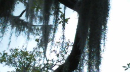 Spanish Moss on a Cypress tree