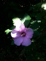 "Hibiscus or ""Rose of Sharon"" right at the beginning of the trail"