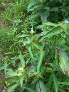 Asiatic dayflower.