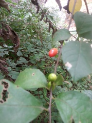 Spicebush, a.k.a. Lindera benzoin.
