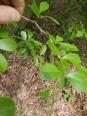 Cockspur Hawthorn a.k.a. Crataegus crus-galli