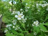 Wild rose -- Rosa multiflora (East Asian invasive species)
